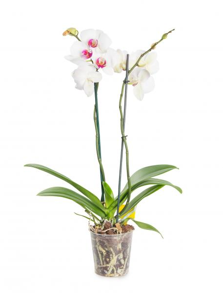 White Orchid. white-orchid-jAe.jpg